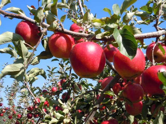 信州のリンゴ