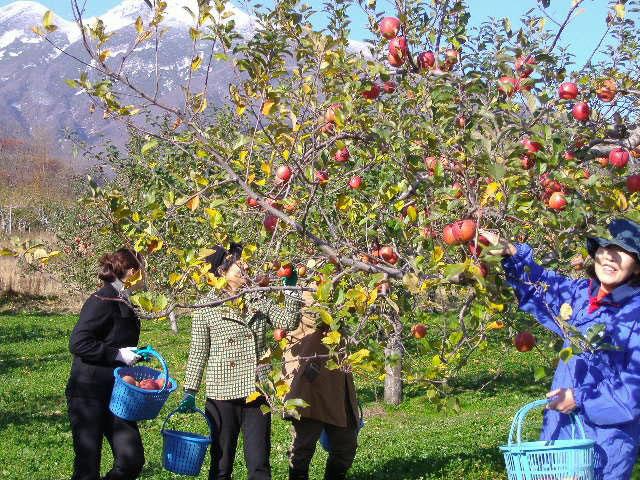 津軽のリンゴ