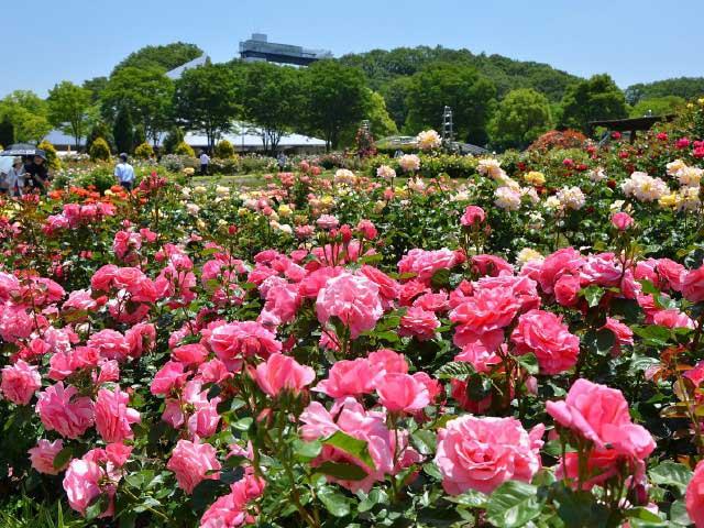 美濃加茂のバラ