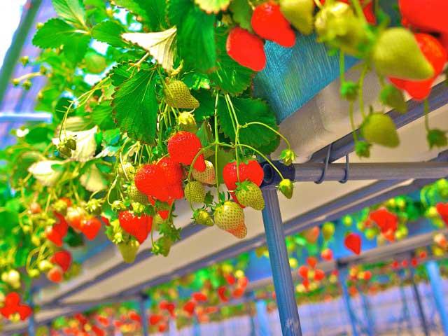 本巣のイチゴ