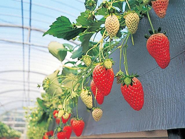 掛川のイチゴ