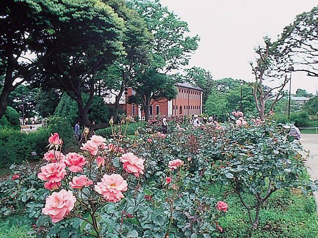 横浜のバラ