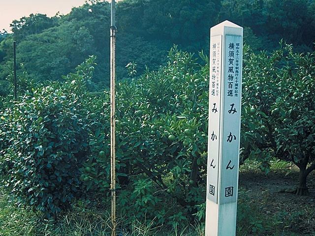 三浦半島のミカン