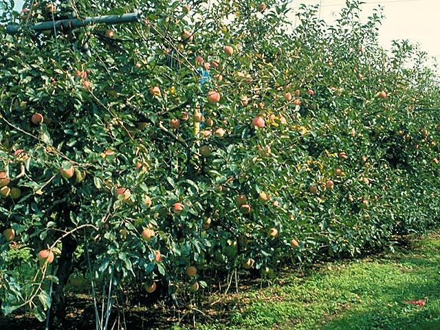 大山のリンゴ