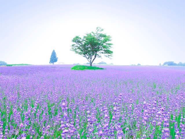 青山高原のラベンダー