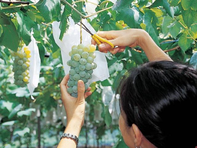 琵琶湖のブドウ