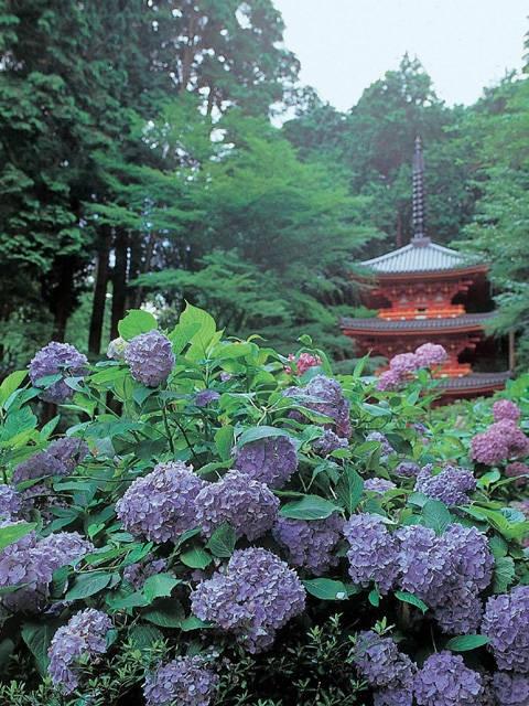 京都のアジサイ