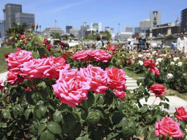 大阪のバラ