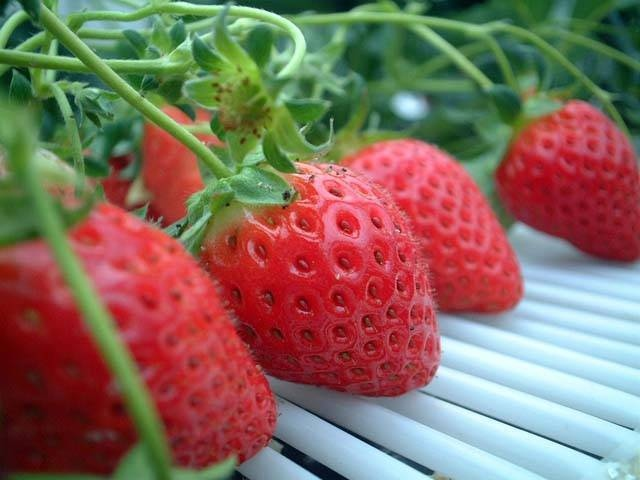 岸和田のイチゴ