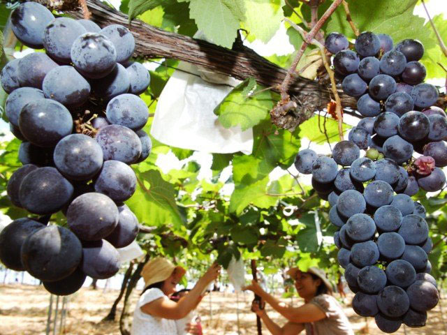 加古川のブドウ