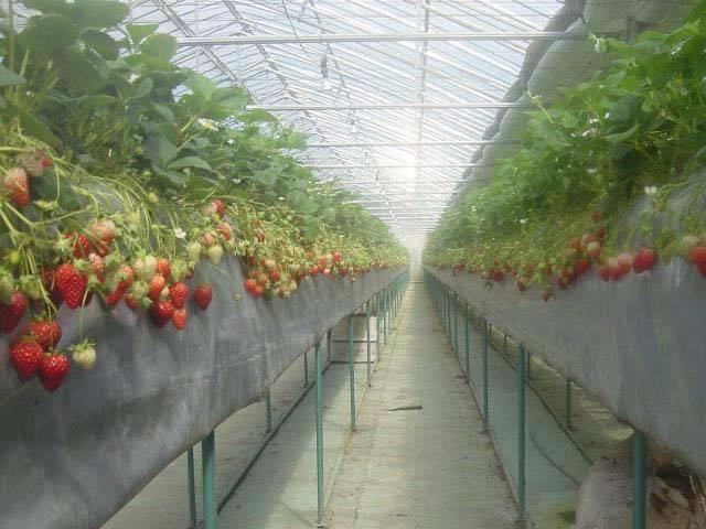 花巻のイチゴ