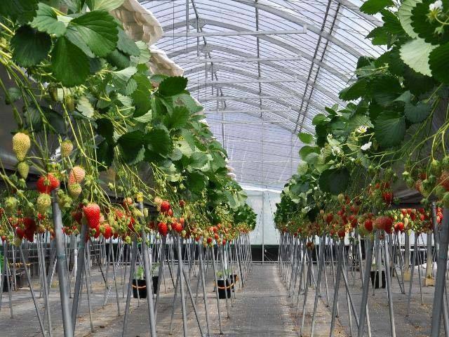 岡山のイチゴ