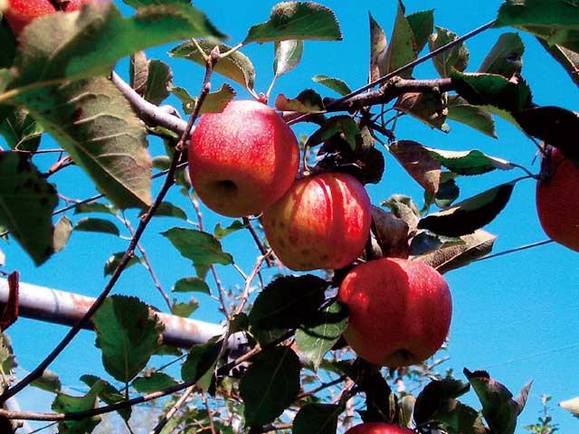 世羅のリンゴ