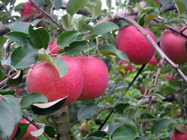 三次・庄原のリンゴ