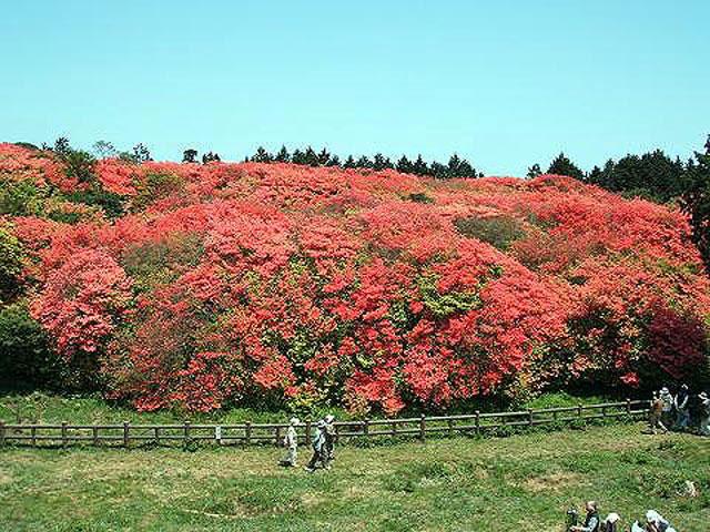 徳島のツツジ・サツキ