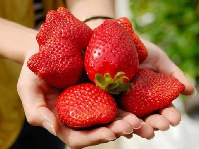 唐津のイチゴ