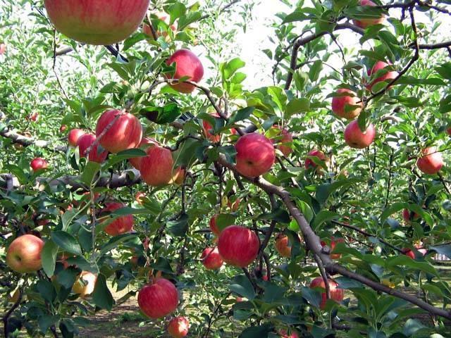 えびの高原のリンゴ