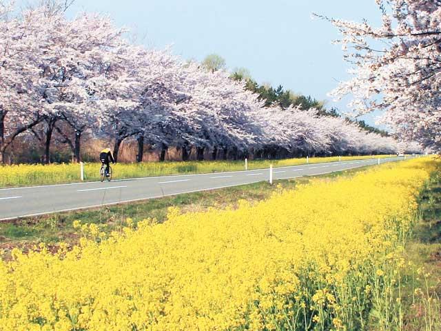 秋田の菜の花