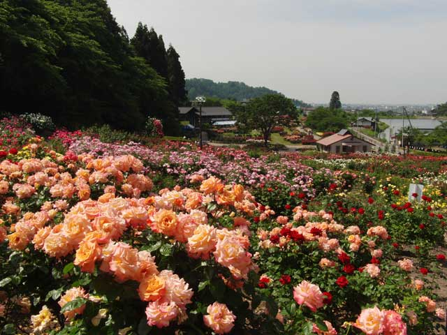村山のバラ