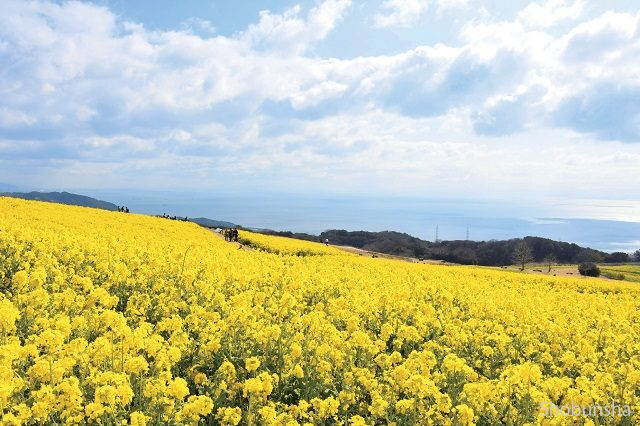 ナノハナ canola flower